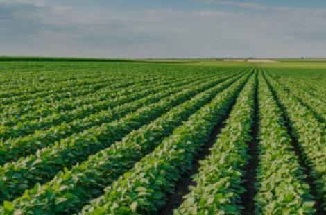 campo cultivo